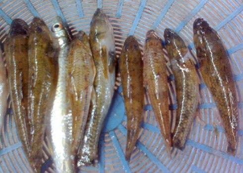 Cá bống cát Sông Trà rất ngon và béo