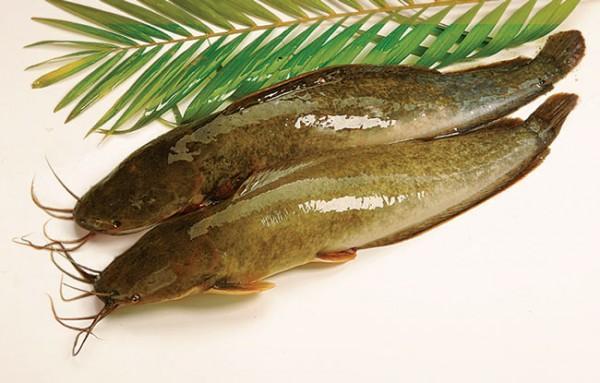 Cá trê loài cá rất bổ dưỡng