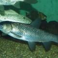 Cá trắm cỏ món ăn bổ dưỡng