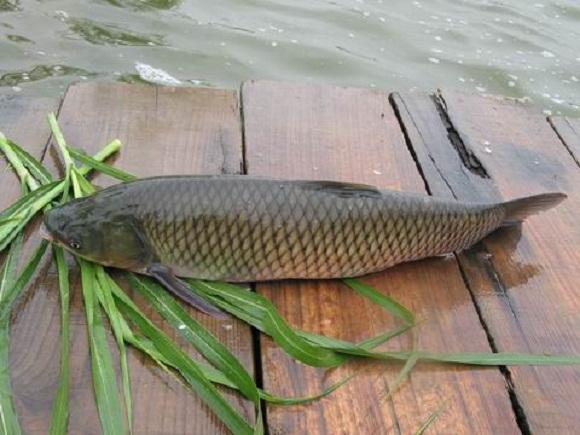 Chọn loại cá trắm cỏ khoảng 1kg
